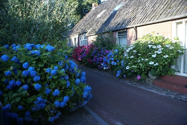 ''Under the Oaks'' in full bloom
