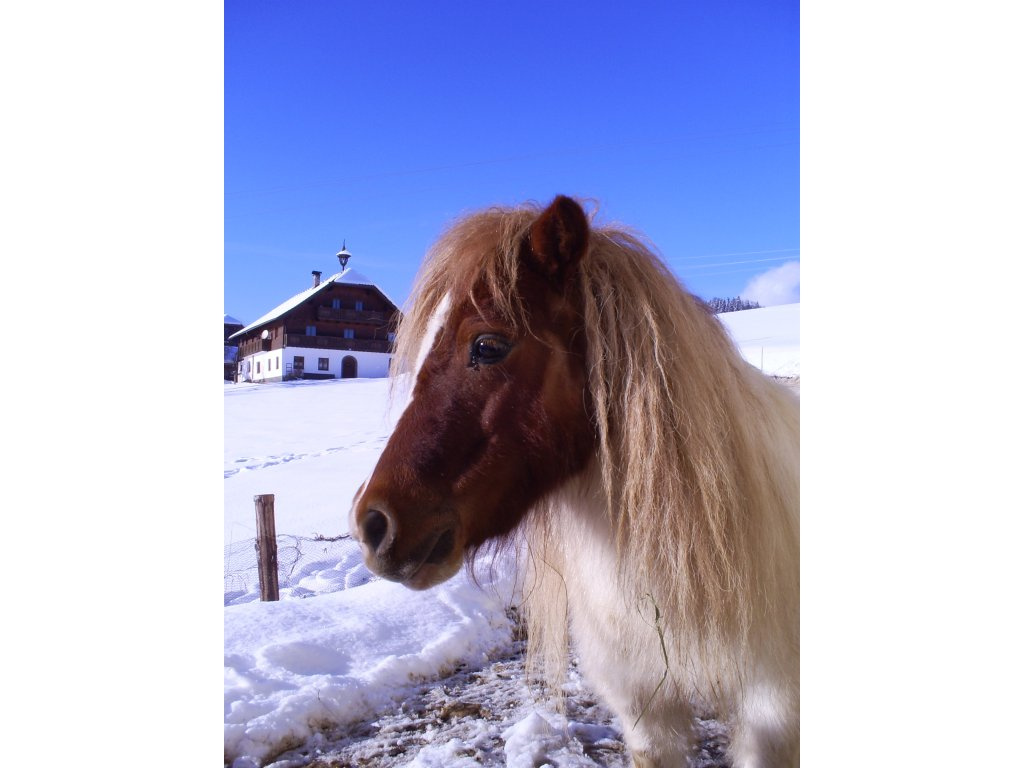 In de winter mini ponys voor kinderen